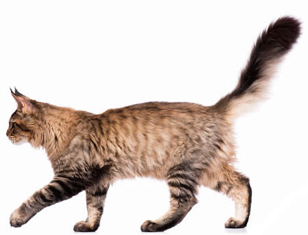 Foto de Portrait of domestic black tabby Maine Coon kitten - 5 months old. Cute young cat isolated on white background. Side view of a curious young striped kitty walking. - Imagen libre de derechos