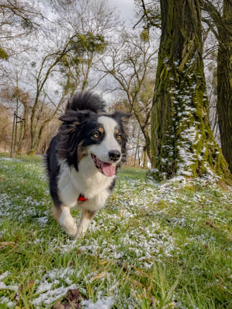 Photo for Australian Shepherd Dog playing at spring park. Happy Aussie walks at outdoors sunny day. - Royalty Free Image