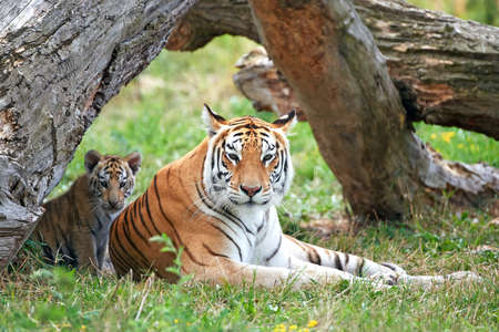 Bengal tiger resting with its cub in its habitat
