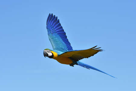 Blue and yellow Macaw in flight with blue skies in the background