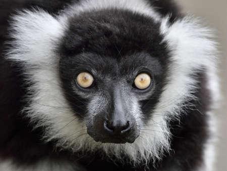 Closeup portrait of the Black and white ruffed Lemur