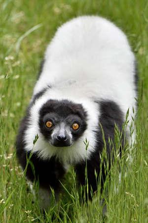 Black and white ruffed Lemur in its natural habitat