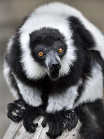 Black and white ruffed Lemur sitting on a tree trunk