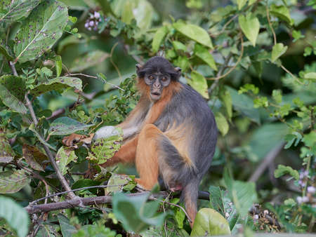 Photo pour Western red colobus in its natural habitat in The Gambia - image libre de droit