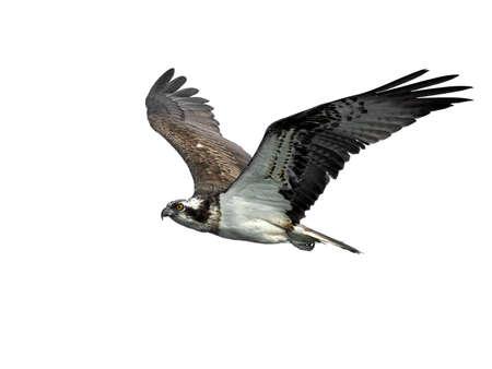 Photo pour Osprey in flight in its natural habitat - image libre de droit