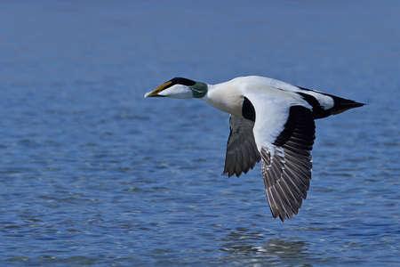 Photo pour Common eider in its natural habitat in Denmark - image libre de droit