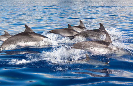 Group of dolphins at the Azores