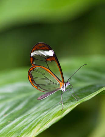 The Glasswinged butterfly  Greta oto