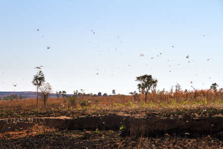 A lot of locusts in the air in Isalo Madagascar. Locust are a yearly pest in many countries