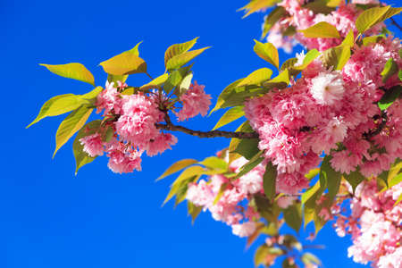 Beautiful blooming cherry blossom in spring in the Jardin des Plantes in Paris, France