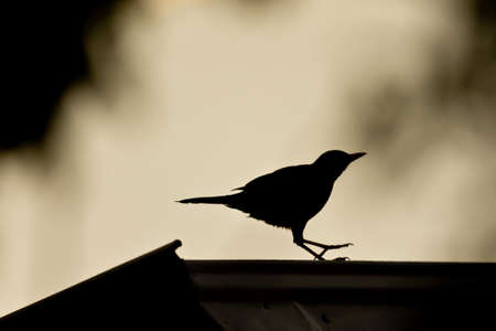 Silhouette of a bird safely landing on a roof