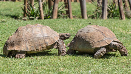 A male Sulcata tortoise slowly following its female counterpart