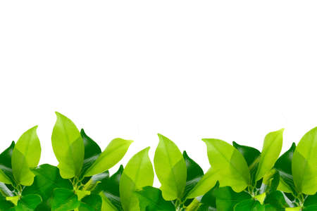 Green young leaves border on white background