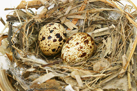 Two quail eggs in nest isolated on white