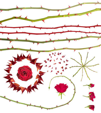 Collection of singular rose thorns, rose stems and buds, isolated on white