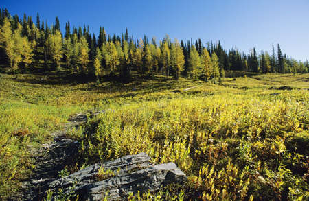 Larch trees in fall, Floe Lake, Kootenay National Park
