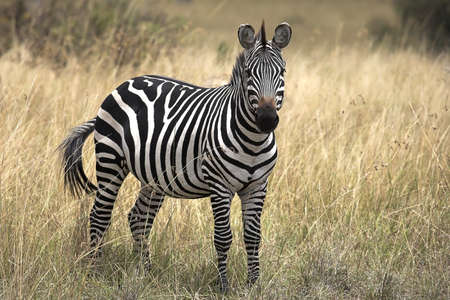 Burchell's Zebra, Masai, Mara, Kenya; Zebra standing in grasslands
