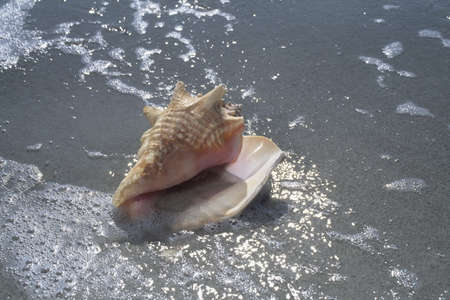 Seashell on beach, Sanibel Island, Florida, USA