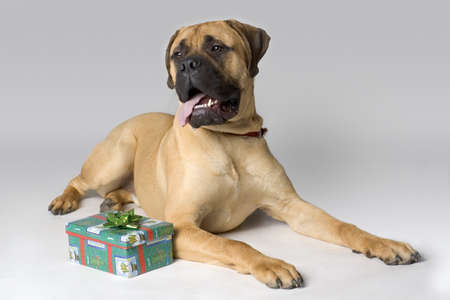 Large pedigree dog with Christmas present