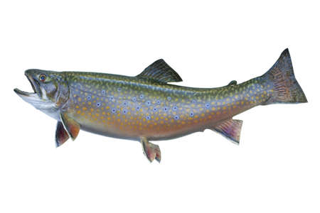 A speckled trout, also known as a brook trout, isolated on a white background