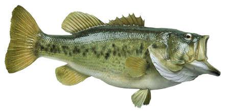 A big largemouth bass isolated on white background