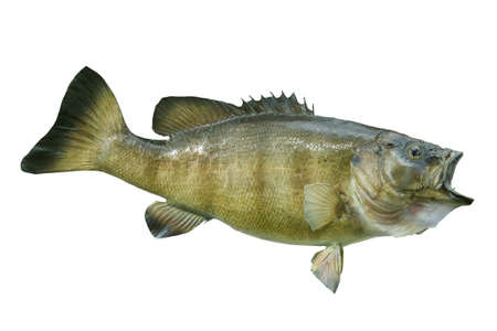 A smallmouth bass isolated on a white background