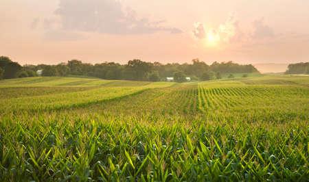 Photo pour A midwestern cornfield glistens below the setting sun - image libre de droit