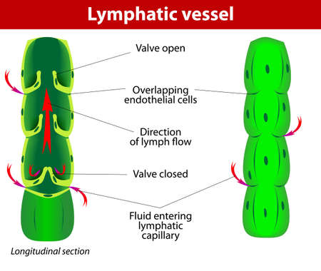 The internal structure of a lymph vessel