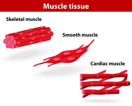 Types of muscle tissue  Skeletal muscle, smooth muscle, cardiac muscle  Vector scheme