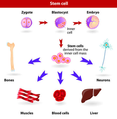 Pluripotent, embryonic stem cells originate as inner cell mass cells within a blastocyst  These stem cells can become any tissue in the body, excluding a placenta