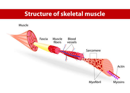 illustration  Muscle Tissues  Each skeletal muscle fiber has many bundles of myofilaments  Each bundle is called a myofibril  This is what gives the muscle its striated appearance  The contractile units of the cells are called sarcomeres