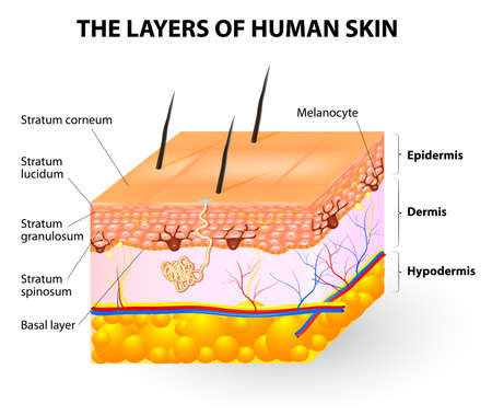 Melanocyte and melanin  layers of epidermis