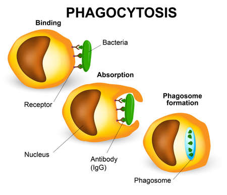Phagocytosis in three steps. Human immune system