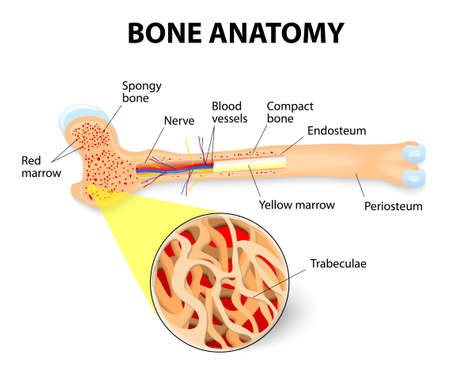 Illustration pour anatomy of the Long Bone. Periosteum, endosteum, bone marrow and trabeculae. - image libre de droit