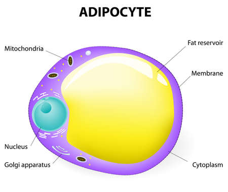 fat cell. Adipocyte is responsible for accumulation energy,  obesity, weight gain and weight loss.