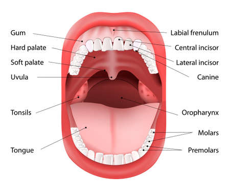 Parts of Human mouth. Open mouth and white healthy teeth. Vector Diagram, with explaining.