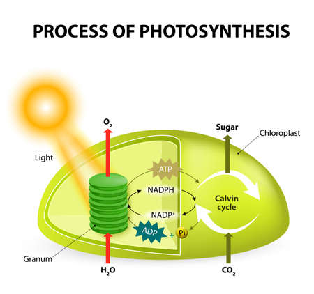 photosynthesis. Diagram of the process of photosynthesis, showing the light reactions and the Calvin cycle. photosynthesis by absorbing water, light from the sun, and carbon dioxide from the atmosphere and converting it to sugars and oxygen. Light reactio