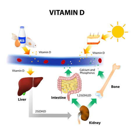 Illustration pour Vitamin D. Foods contain vitamin D. Skin absorbs solar UVB radiation and synthesis of vitamin D. Calcium homeostasis and metabolism. - image libre de droit
