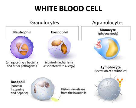 Illustration pour Types of white blood cells. Infographics. - image libre de droit