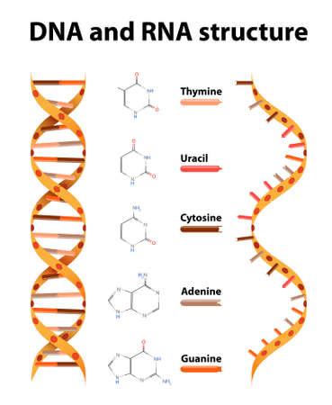 Ilustración de DNA and RNA structure. differences - Imagen libre de derechos