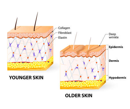 Illustration pour Visual representation of skin changes over a lifetime. Collagen and elastin form the structure of the dermis making it tight and plump. Fibroblasts synthesize collagen and elastin. - image libre de droit