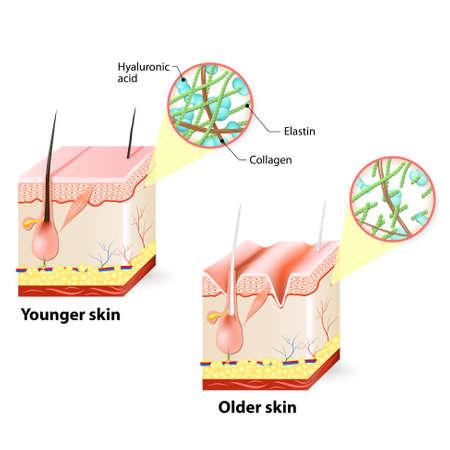 Illustration pour Visual representation of skin changes over a lifetime. - image libre de droit