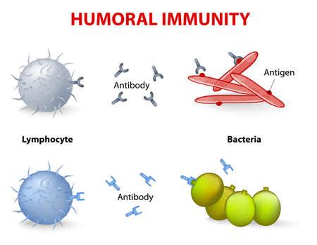 Illustration pour humeral immunity. Lymphocyte, antibody and antigen. - image libre de droit