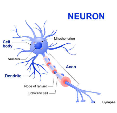 Illustration pour Anatomy of a typical human neuron (axon, synapse, dendrite, mitochondrion,  myelin  sheath, node Ranvier and Schwann cell). Vector diagram - image libre de droit