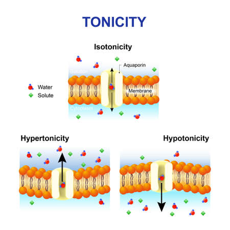Illustration pour Tonicity and osmosis. Cell membrane and aquaporin. Effect of different solutions on cell. Isotonic, Hypotonic and Hypertonic. This diagram shows the effects of hypertonic, hypotonic and istonic solutions to red blood cells. - image libre de droit