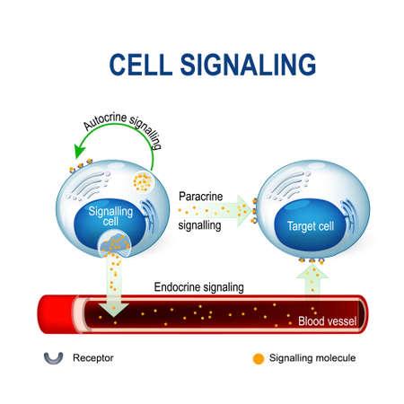 Illustration pour cell signaling. Signalling mechanism in cells: intracrine, autocrine and endocrine signals. - image libre de droit
