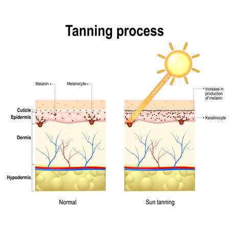Illustration pour Tanning process. When ultraviolet light waves touch melanocytes, they begin to increase the production of melanin. The skin becomes dark color - image libre de droit