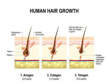 Illustration for Hair growth. anagen is the growth phase; catagen is the regressing phase; and telogen, the resting or quiescent phase. Vector diagram - Royalty Free Image