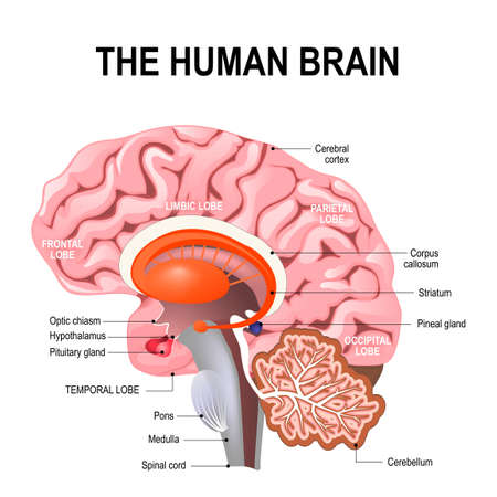 Illustration for detailed anatomy of the human brain. Illustration showing the medulla, pons, cerebellum, hypothalamus, thalamus, midbrain. Sagittal view of the brain. Isolated on a white background. - Royalty Free Image