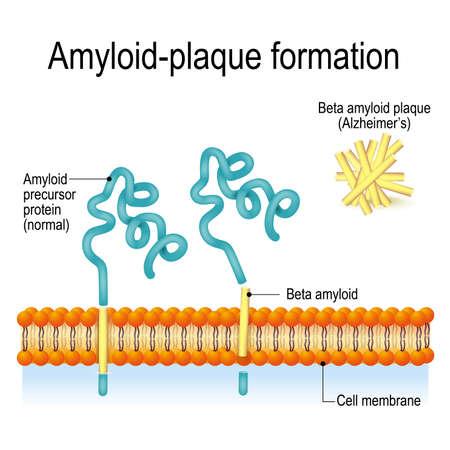 Vektor für Cell membrane with Amyloid precursor protein (APP) and beta amyloid. Amyloid-plaque formation. Alzheimer's disease - Lizenzfreies Bild